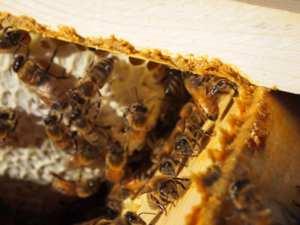 Перед зимой пчелы тщательно готовятся, утепляют дом прополисом