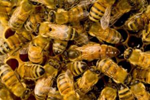 Зимой пчелы располагаются вплотную друг к дружке, для сохранения тепла