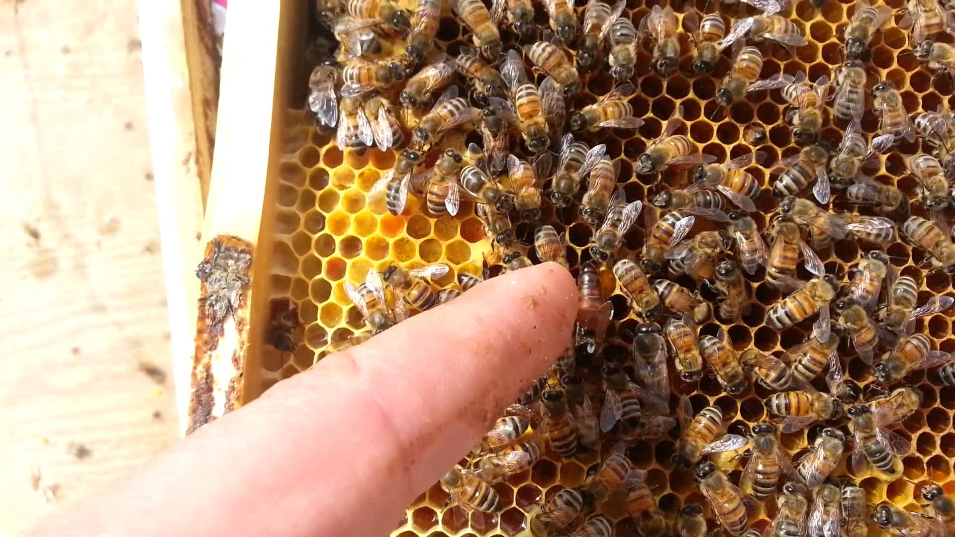 Как выглядит матка пчелы, кто оплодотворяет пчелиную королеву