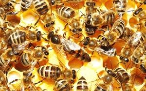 Сколько живёт пчела