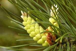 Чем полезна сосновая пыльца
