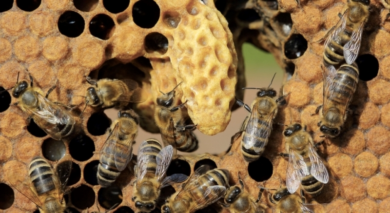 Что успевает сделать за свою жизнь пчела?